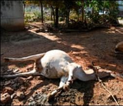 LG폴리머스인디아의 유해화학물질로 피해를 입은 가축의 모습. 아시아직업환경피해자네트워크 제공.