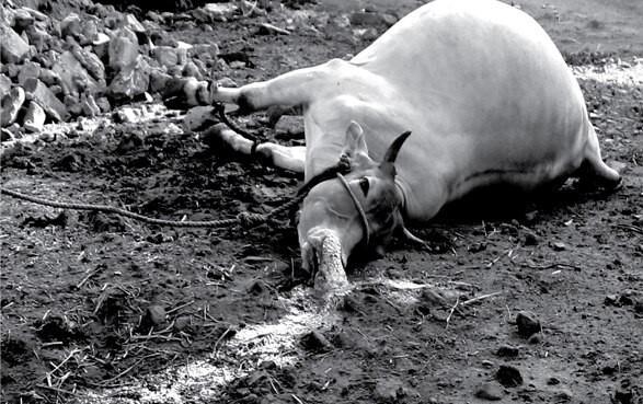 지난 5월7일 인도 엘지폴리머스 가스 누출로 주민이 키우는 소가 쓰러졌다. 환경보건시민센터 제공